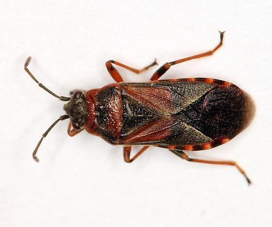 a picture of an elm seed bug laying down