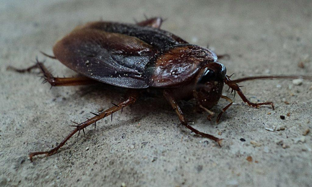 oriental roach laying on the ground