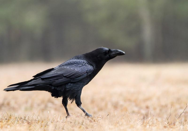 black crow on the grass