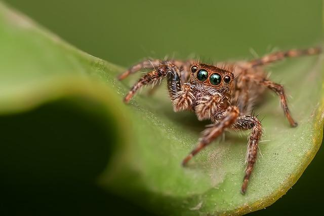 brown furry spider with four big eyes