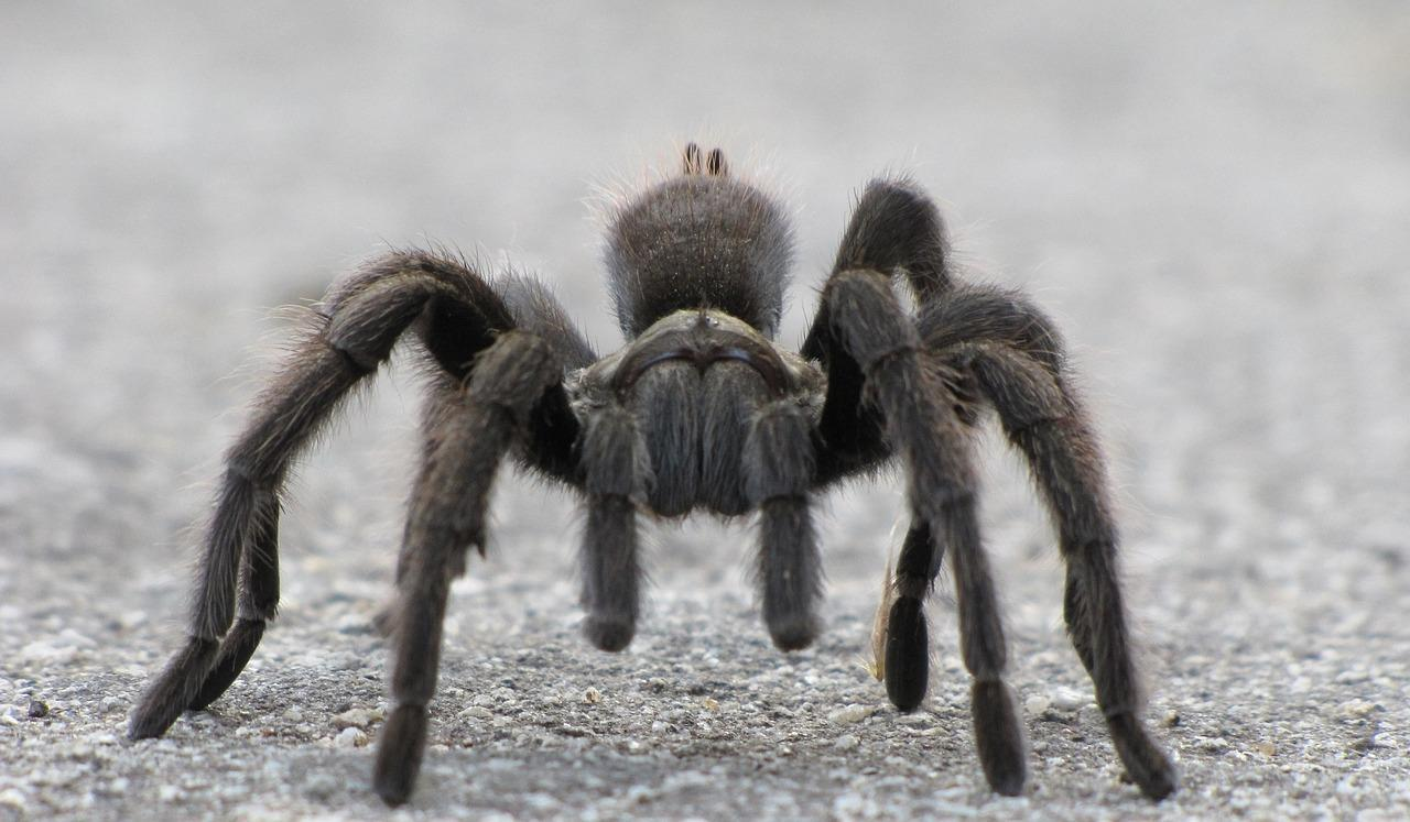 black furry spider crawling
