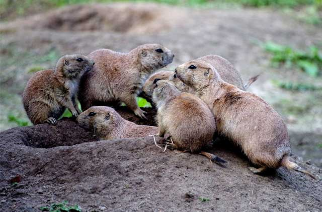 prairie dog pest control